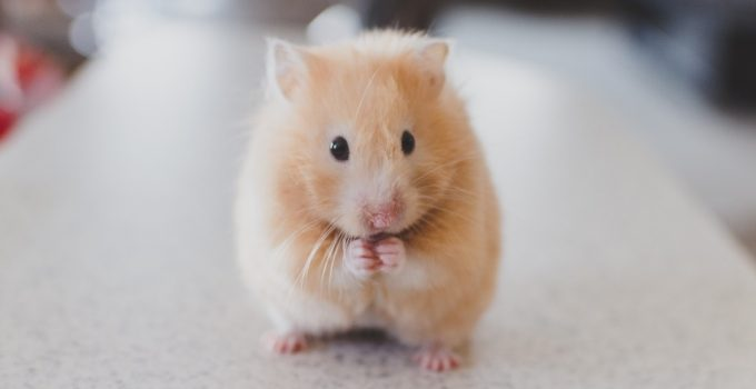How Long Do Hamsters Live?