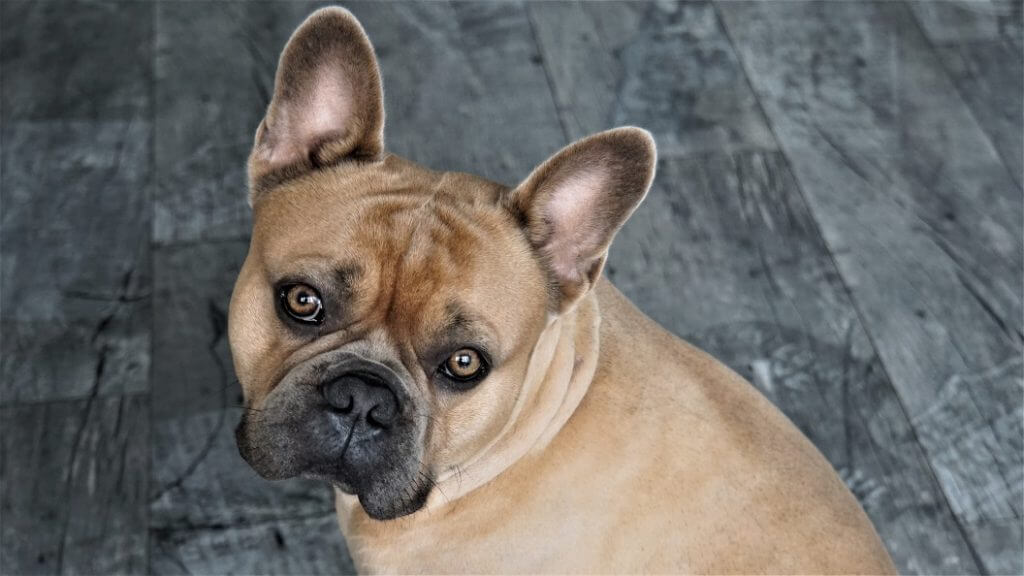 Best Dog Food For French Bulldogs - Image 1