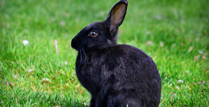 How Long Do Rabbits Live?