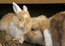 Gestation In Rabbits – How Long Are They Pregnant?