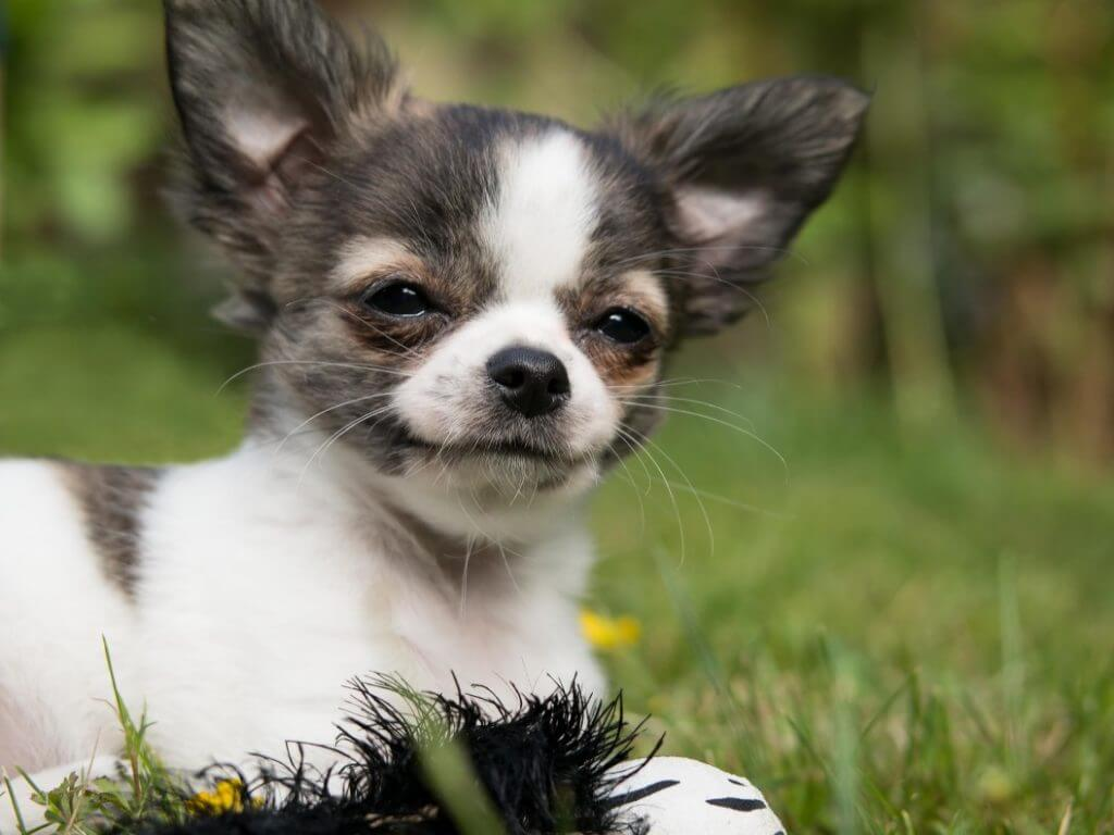 When Do Dogs Stop Growing? - Chihuahua
