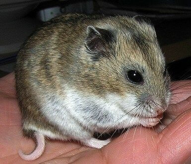 How Long Do Hamsters Live? - Chinese Hamster
