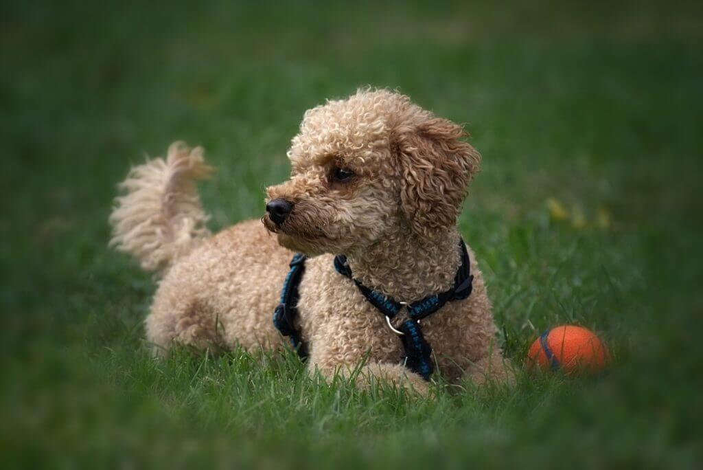 When Do Dogs Stop Growing? - Poodle