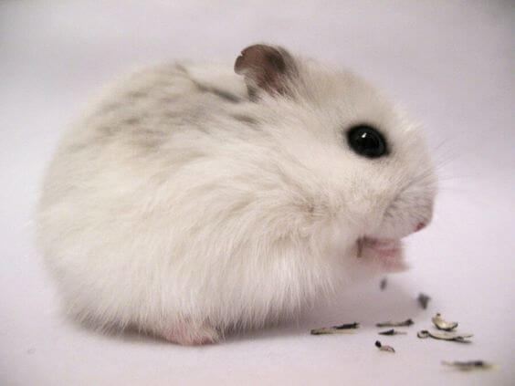 How Long Do Hamsters Live? - Russian Dwarf Hamster