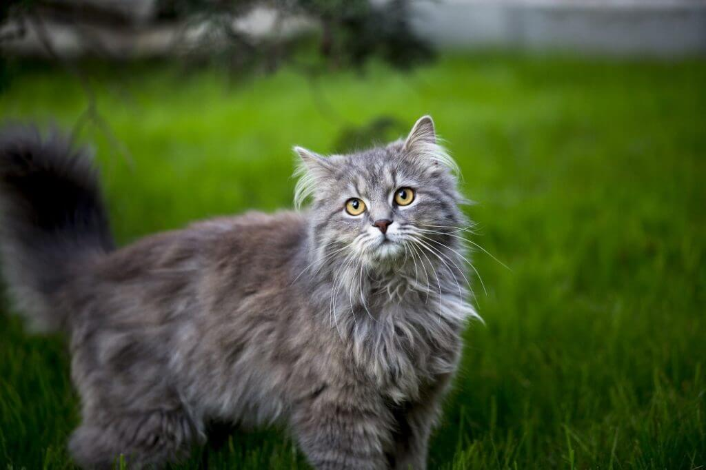 When Do Cats Stop Growing? - Maine Coon