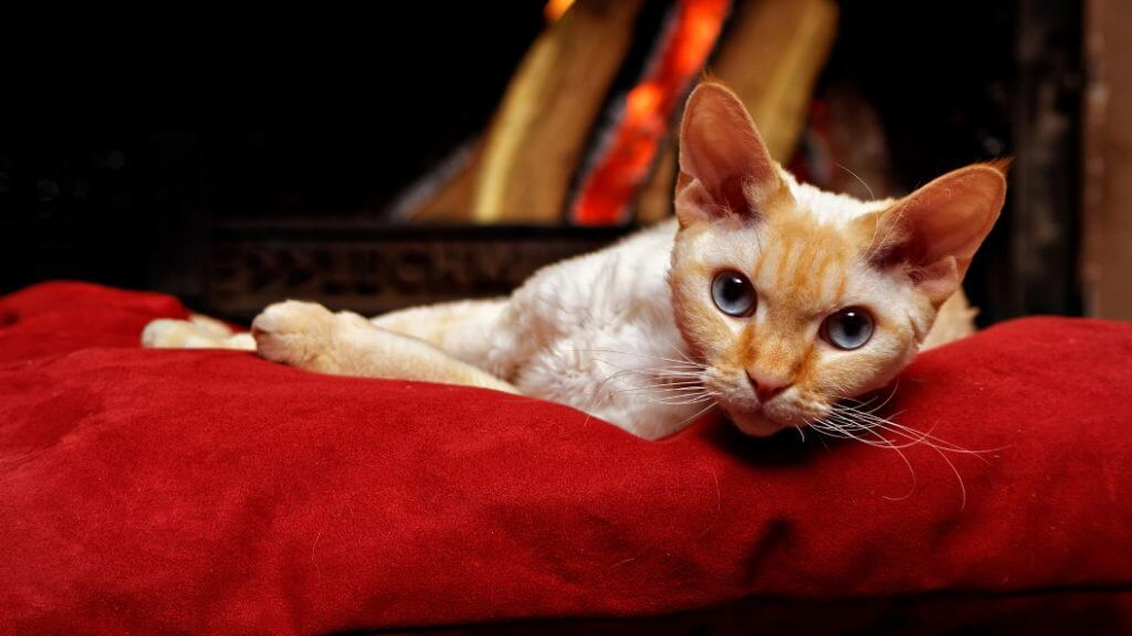 Devon Rex lying on red fabric