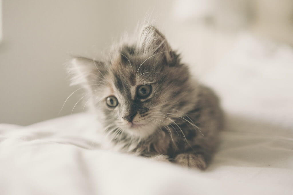 Young fur of a kitten
