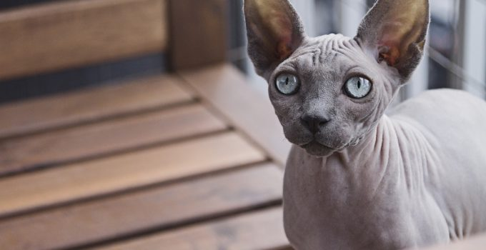 8 Amazing Cat Breeds That Don't Shed