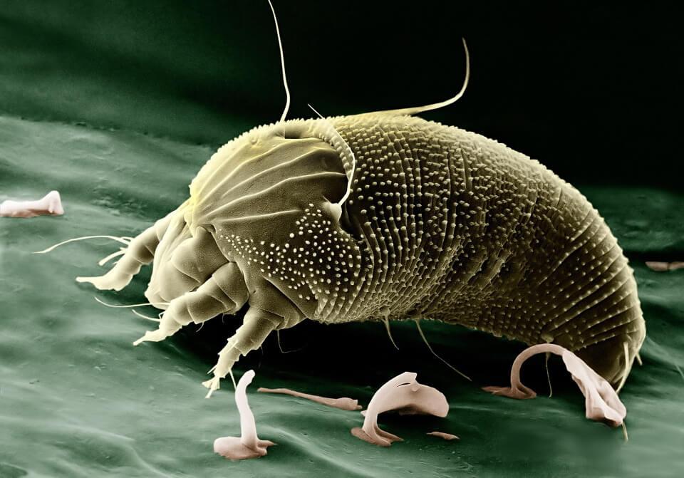 Close-up of a mite
