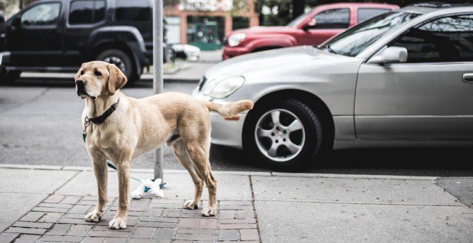 Dog on a sidewalk near cars