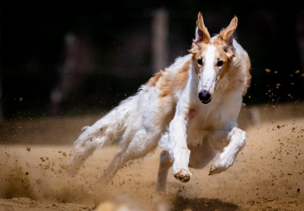 A dog running face-on
