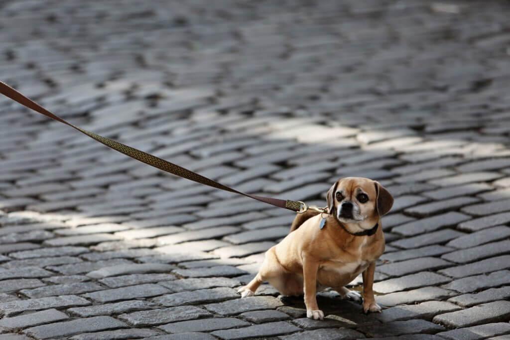 Small dog on a long leash
