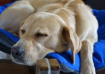 5 Best Dog Beds For Labs – 2021 Reviews & Buying Guide