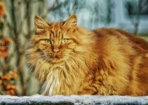Norwegian Forest Cat 1