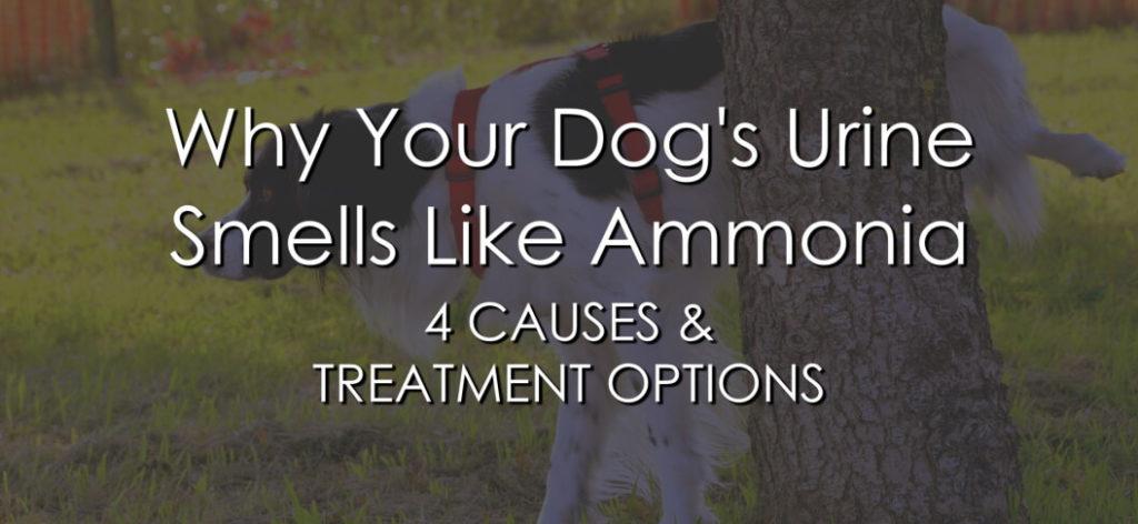 Dog Urine Smells Like Ammonia - Banner 2