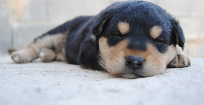 Puppy sleeping in an extended position