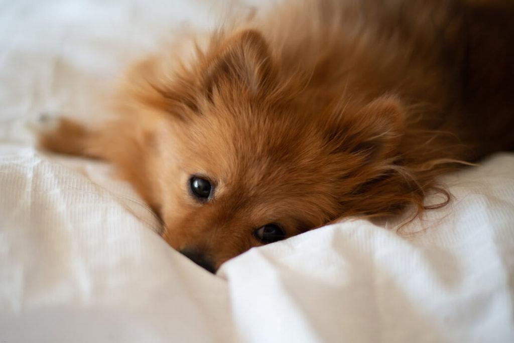 Pomeranian nestling into bedding