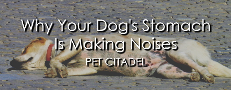 Dog's Stomach Is Making Noises - Banner