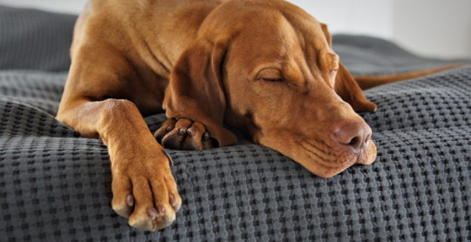6 Best Dog Beds For Vizslas – 2021 Reviews & Buying Guide