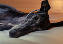 6 Best Dog Beds For Greyhounds – 2021 Reviews & Buying Guide
