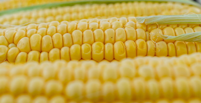 Can Dogs Eat Corn? – Explained
