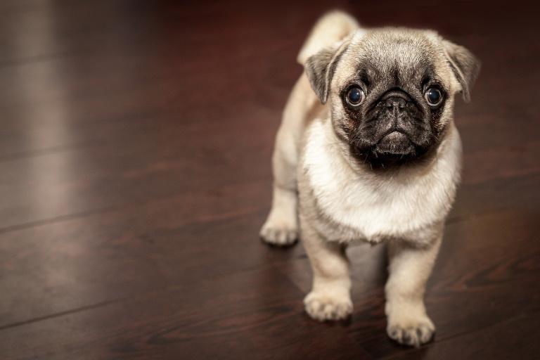 Pug puppy on a wood floor