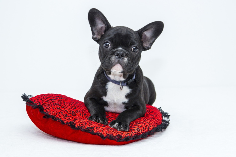 Bulldog puppy on a cushion