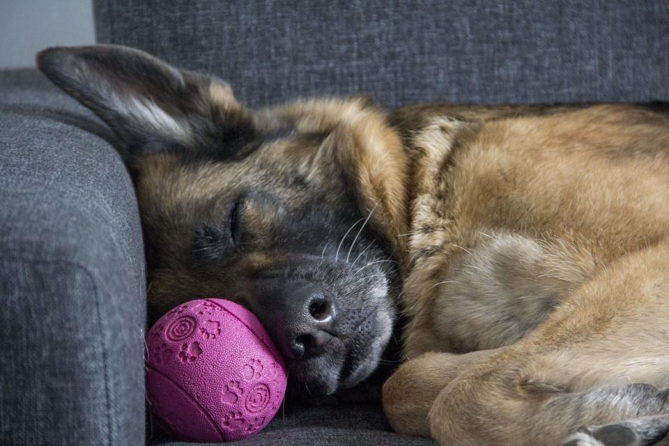 German Shepherd lying on couch with ball