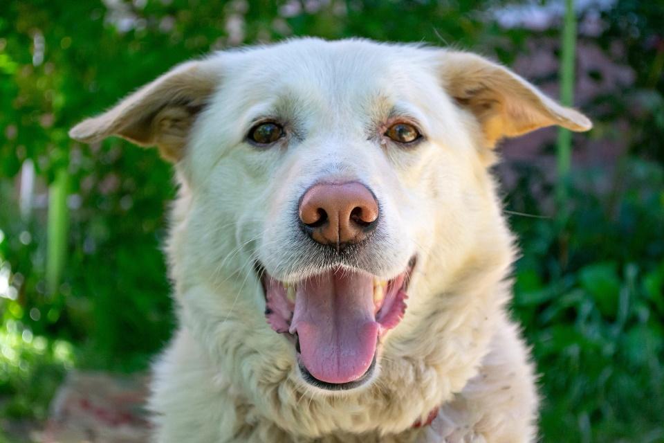 Labrador with mouth open