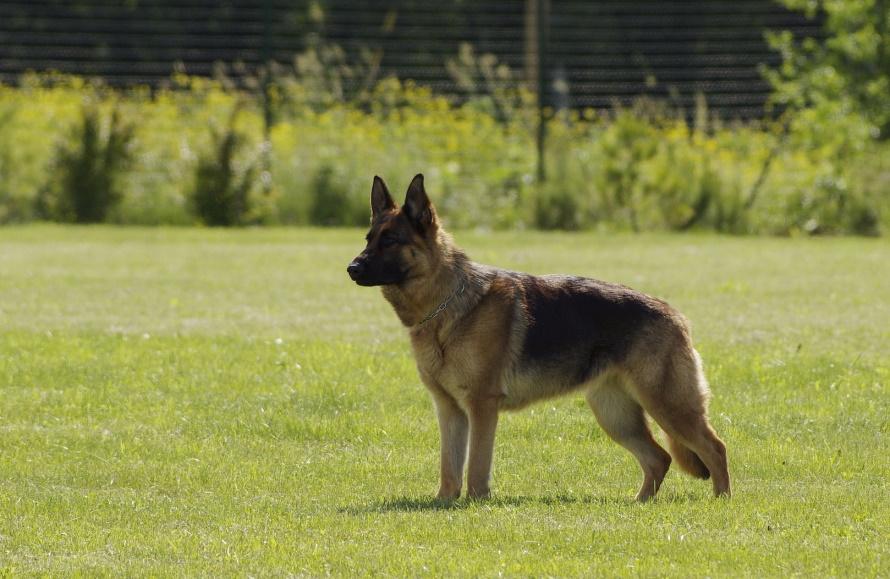 German Shepherd on the grass