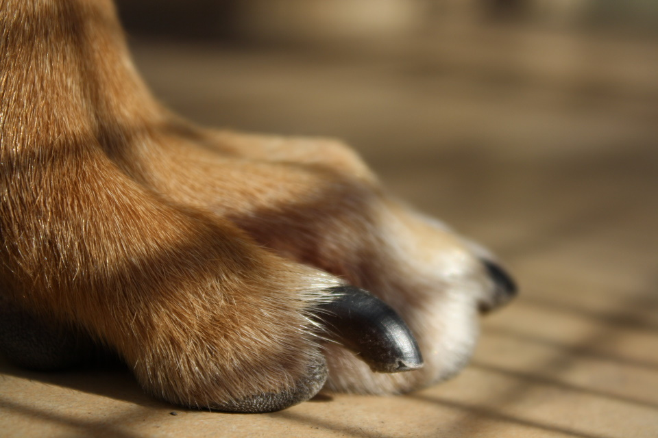 Brown dog paw with black nails