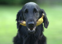 Can Dogs Eat Bananas? – Explained