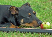Can Dogs Eat Apples? – Explained